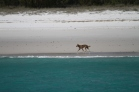 A dingo on Fraser Island